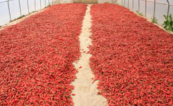 Drying Hungarian paprika